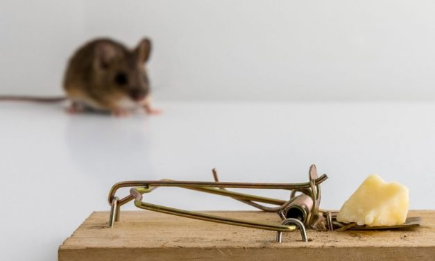 Fact or Fiction: Is Cheese the Best Bait for Mice?