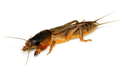 How to Stop Mole Crickets From Damaging Your Lawn